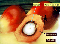 palm kernel and palm fruit